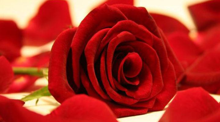 Le proprietà della rosa per i tuoi massaggi a Torino