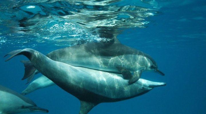 Sesso e animali, la scienza rivela: i delfini lo fanno strano